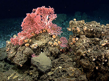 Corals, including cup corals and bubblegum corals reside on the hard substrate near the edge of the mussel bed.