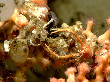A squat lobster, Munidopsis sp., is associated with a branching stony coral on the east wall of a minor canyon explored on July 24, 2013.