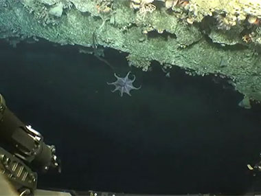 An octopus flies by during Dive 02 at a minor canyon near Shallop Canyon.