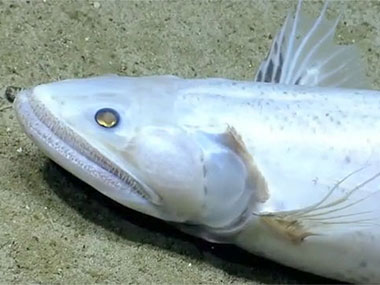 The deep-sea lizard fish (<em>Bathysaurus</em>) was observed on the south side of Mytilus Seamount. This fish sits on the bottom and grabs prey from the water column.