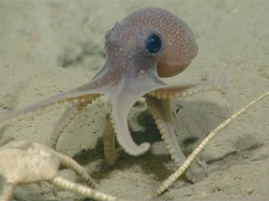 A baby octopus (<em>Graneledone verrucosa</em>) moves across the seafloor as ROV <em>Deep Discoverer</em> explores Veatch Canyon on July 20, 2013.
