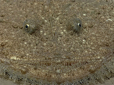A goosefish lays and waits for its dinner to swim through its strike zone.