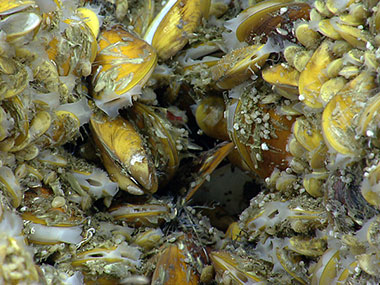 Chemosynthetic mussels of varying sizes were present at New England Seep Site 1.