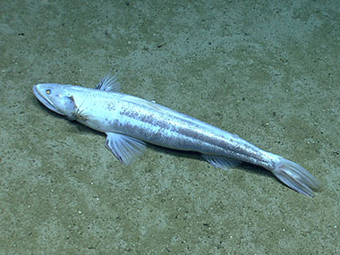 The deep-sea lizard fish (Bathysaurus) was observed on the south side of Mytilus Seamount.