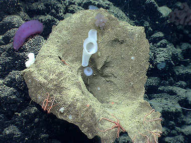 Sponges are abundant and diverse at Mytilus Seamount.