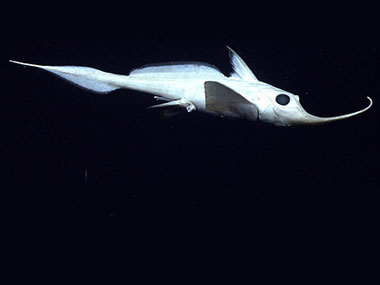 A Rhinochimera (Harriotta sp.) swims 10 meters above the seafloor.