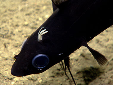 Antimora rostrata (blue cod) fish with a parasitic copepod attached.