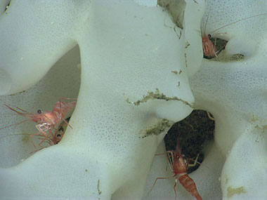 Small shrimp hide in a glass sponge in Hydrographer Canyon.