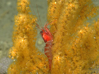 A shrimp rests on octocoral in Hydrographer Canyon.