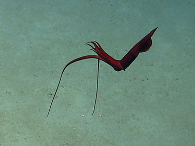 Whiplash (Mastigoteuthis) squid waits in the water column while hunting.