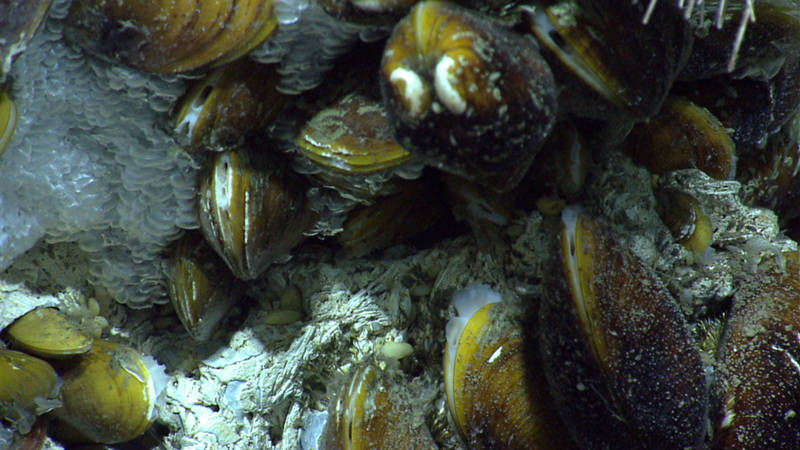 Towards the end of the first dive, we found a carbonate outcrop with chemosynthtic mussels.