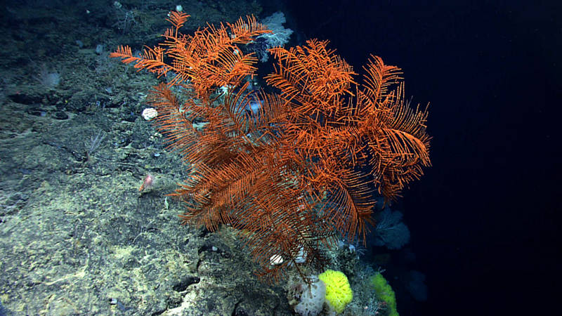 A large black coral along the edge of a very steep cliff that was heavily encrusted with coral and sponges.