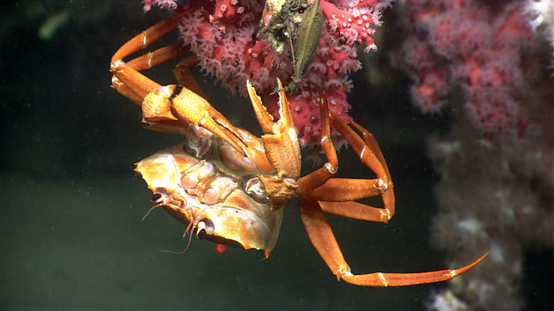 A deep-sea red crab hangs out on a bubblegum coral.