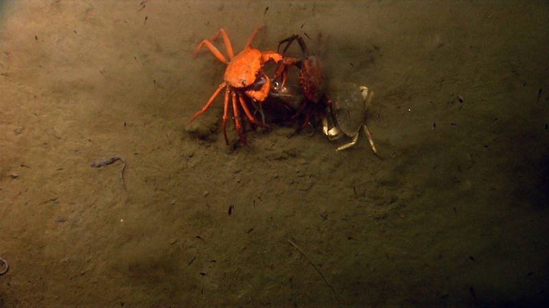 Food is a valuable commodity in the deep sea. Here three crabs fight over a squid for their next meal.