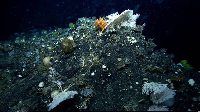 The diversity of deep-sea corals and sponges on Gosnold Seamount made the dive here my favorite!