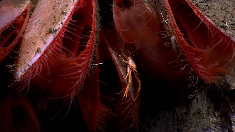 A tiny squat lobster rests in a group of bivalves under a ledge in McMaster Canyon.