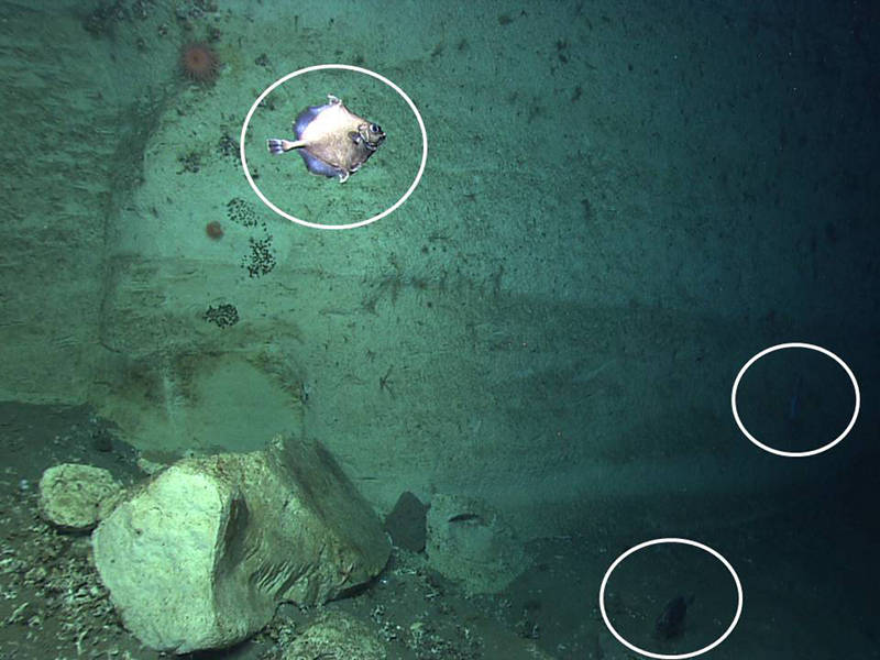 Here you can see three oreo fish (Neocyttus) encountered during Dive 04 in a minor canyon east of Veatch.