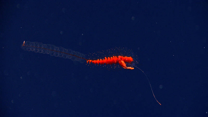 Siphonophores are regular visitors in the midwater.