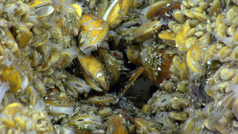These chemosynthetic mussels were discovered by the ROV Deep Discoverer while it explored a canyon off the northeast coast of the U.S. in 2013. Over 800,000 members of the public tuned in to the video the ROV live-streamed over the internet during this expedition. Chemosynthetic mussels are found in areas of active hydrocarbon seepage; NOAA Ship Okeanos Explorer has discovered hundreds of previously unknown methane seeps in this and other areas over the past five years.