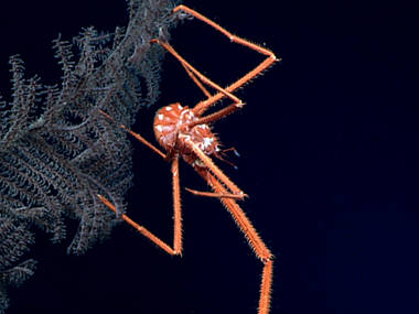 A squat lobster perched on a black coral.
