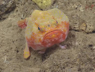 "This Chaunax, or sea toad, began to ""walk"" away as D2 approached during our exploration of Mona Canyon."