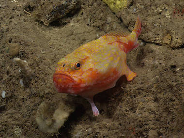 "As ROV Deep Discoverer approached, this sea toad (Chaunax sp.) ""walked"" away."