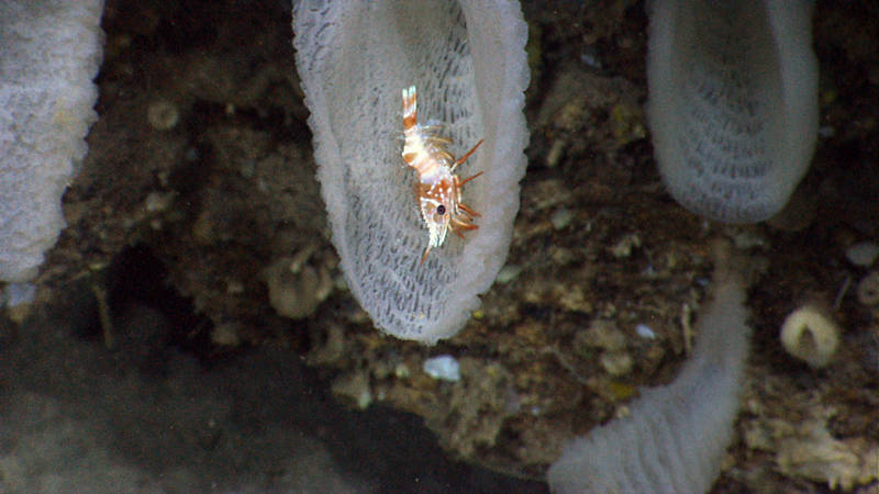 A shrimp associate with a very serrated rostrum inhabiting a glass sponge.