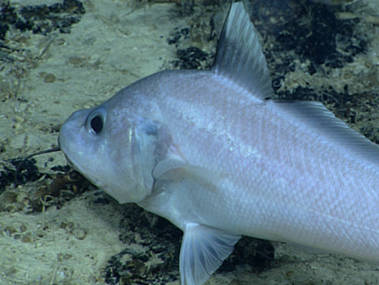 Gadomus arcuatus has a long chin barbel for searching for food and long tactile rays.