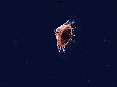 This coronate jellyfish had a single 'hypertrophied' tentacle extending behind the open bell.
