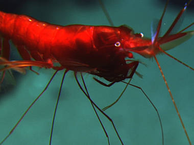 In the dark of the deep sea, this shrimp would appear black.
