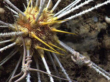 This urchin was particularly interesting due to its barbed spines and brittle star associates.