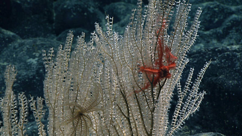 A beautiful primnoid coral with a commensal crinoid (sea lily) and ophiuroid (brittlestar) observed on the dive.
