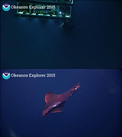During the descent on Dive 06, a one to two-meter squid attached itself to the back of ROV Deep Discoverer (D2) and hung out there for several minutes before coming around to the front of the vehicle, allowing us to get some great imagery of it.