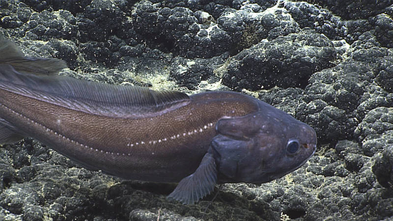 ROV Deep Discoverer filmed this Diplacanthopoma species between (1,096 and 1,380 meters (3,596 and 4,528 feet) on Bank 9, about 50 nautical miles south of Pearl and Hermes Atoll in the Papahānaumokuākea Marine National Monument. The two-part lateral-line (white dots on the body), the absence of scales on the head, and the flap above the gill cover are characteristics of the genus. Though this individual had the color of the specimen that Gosline identified as Diplacanthopoma riversandersoni, that identification will need to be reevaluated if Hawaiian specimens of Diplacanthopoma are collected. Ichthyologists need to review and determine the number of species in the genus, as well as their geographic distributions, before we can get accurate identifications.
