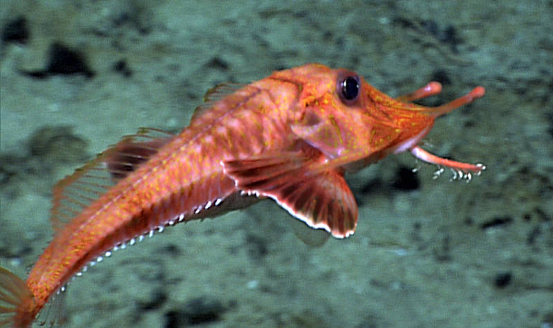 The armored searobin, Scalicus engyceros, was one of the fishes David Starr Jordan reported among the specimens floating offshore of a 1919 lava flow from Mauna Loa. We photographed this individual during the August 29, 2015, Okeanos Explorer ROV dive off Keahole Point, several miles north of the 1919 lava flow on the Kona Coast of Hawai'i Island.