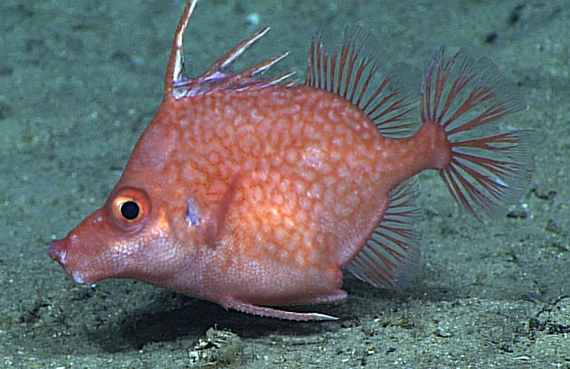 The Hawaiian spikefish, Hollardia goslinei, was first discovered as a specimen that floated to the surface because of lava from the 1950 eruption of Mauna Loa that flowed into the ocean on the Kona Coast of Hawai'i Island. Scientists on Hawai'i Undersea Research Laboratory submersible dives often saw spikefish at 902–1690 feet (275–515 meters) throughout the Hawaiian Islands and at Johnston Atoll. This spikefish, or a very similar species, was also commonly seen in dives in the Line Islands south of Hawai'i.