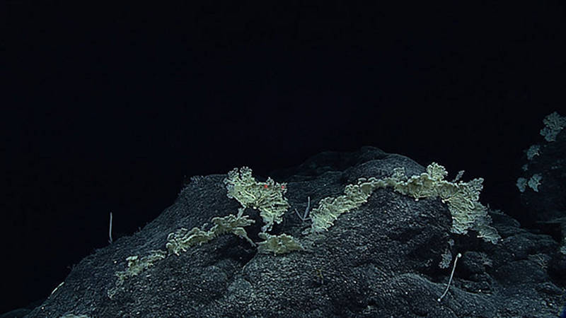 A large aggregation of branched deep-sea sponges documented on Dive 10 at Mid Karin Ridge.