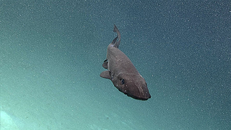 Deepwater shark moving to attack position.