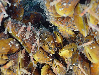 A biological community of mussels, shrimp, and limpets living at NW Eifuku seamount in the Marianas region.