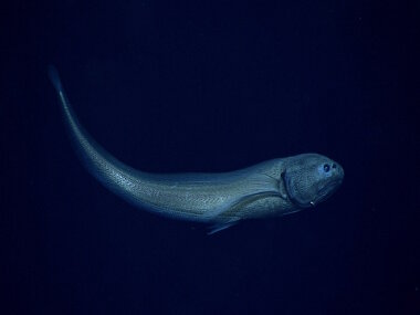 Cusk eel in the family Ophidiidae. This is in the genus Eretmichthys and may be the species E. pinnatus.