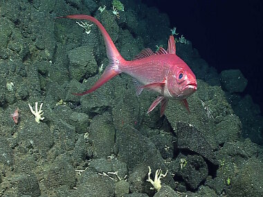 This Long-Tail Red Snapper was spotted during Dive 2 on Pagan. In the words of one of our science team members – we were exploring for bottom fish, and this one was the primo find!