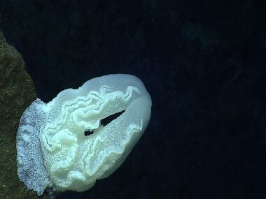One of the unusual benthic platyctenid ctenophores documented during Dive 5 at Ahyi Seamount.