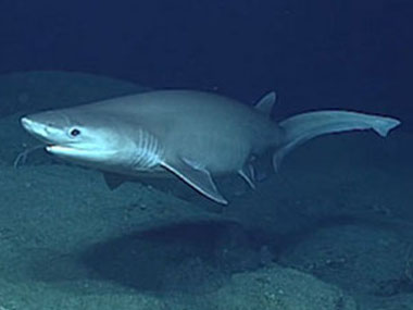 Sixgill shark seen while exploring Santa Rosa Reef, south of Guam, during the first dive of the expedition on April 20, 2016.