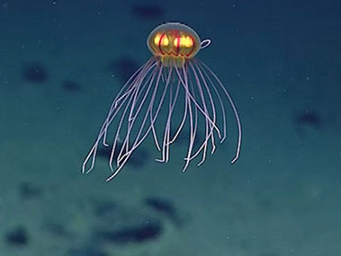 Stunningly beautiful jellyfish seen during Dive 4 on April 24, 2016, while exploring Enigma Seamount at a depth of ~3,700 meters.
