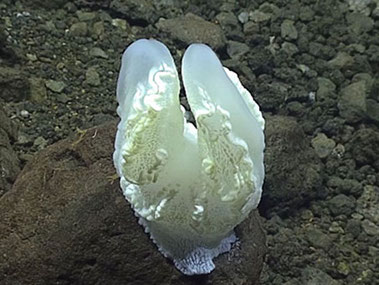 While exploring Ahyi Seamount during Dive 5 of the leg, we encountered a range of sessile organisms that made scientists exclaim, 'what is that?!'