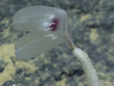 A comb jelly (ctenophore) perched on top of a sponge stalk.