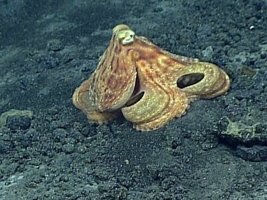 This octopus was seen on Dive 5 at Ahyi Seamount.