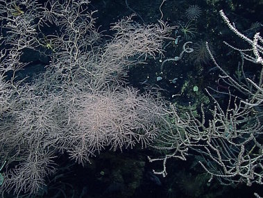 The deep-sea corals on Vogt Seamount were amazing
