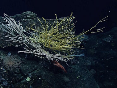 We have only just begun to understand the deep sea and there are many more hidden treasures still out there. During this expedition, scientists explored Vogt Seamount and found an incredible diversity and high density of deep-sea corals. In this image alone, there are over seven types of corals, with some of the larger corals measuring over a meter.