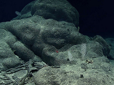 Ferromanganese crusts draping rocks (and old sponge stalks) on Dive 17 at Fryer Guyot.